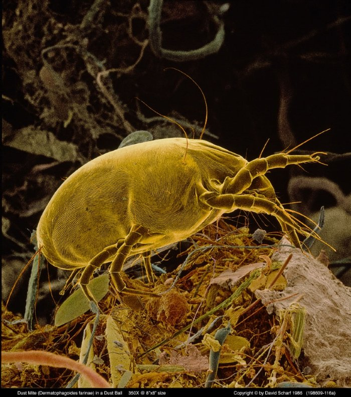 198609-116a-Dust-Mite_side1