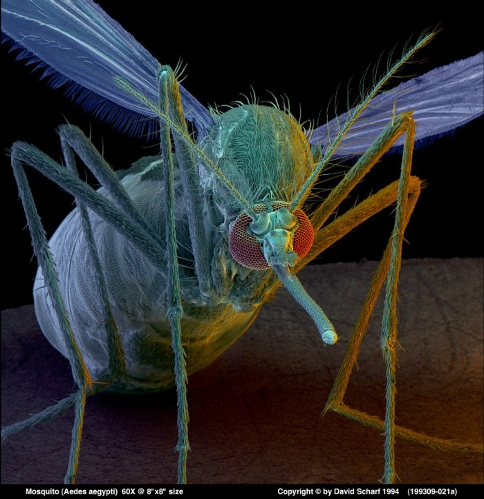 199309-021a-Aedes-Aegypti-Mosquito1