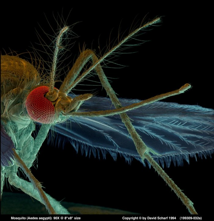 199309-032a-Aedes-Aegypti-Mosquito1