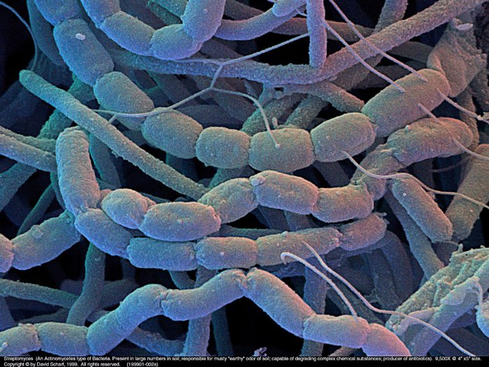 199901-002a-Streptomyces1