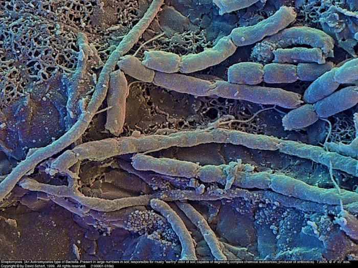 199901-010a-Streptomyces1