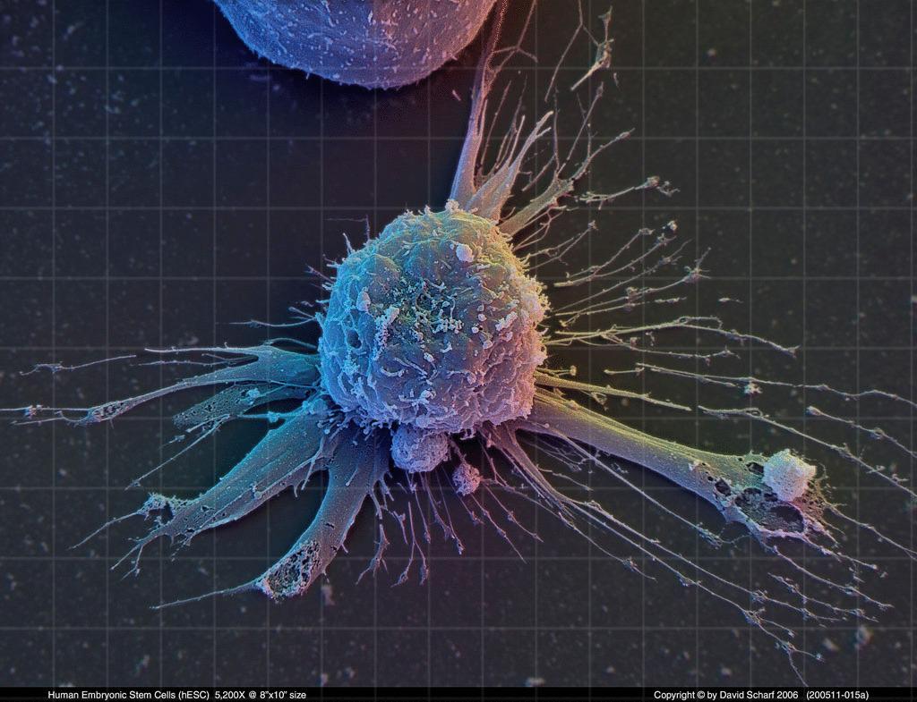 зрелые клетки